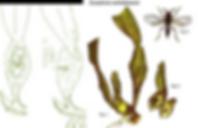 pragas nas orquideas, vespinhas, calorileya nigra, Eurytoma orchidearum, larva de broto, larva de raiz