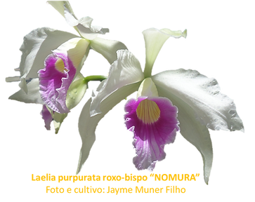 Laelia purpurata roxo bispo nativa nomura