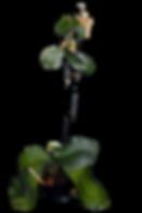 Como fazer mudas de orquideas, phalaenopsis