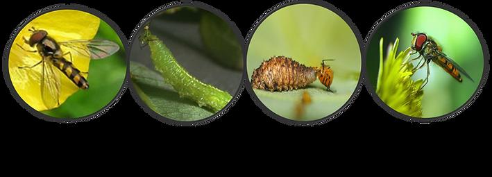 Syrphidae mosca dedinho amigo das orquideas cultivo pragas