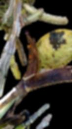 pragas nas orquideas, besouros, thentecoris