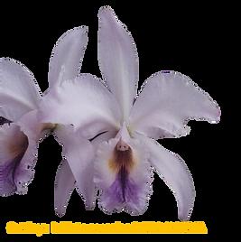 Cattleya labiata coerulea dona norma nativa