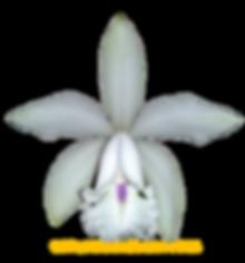 Cattleya intermedia nativa suave sonia