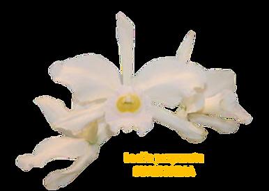 Laelia purpurata nativa suavissima