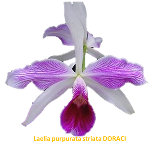 Laelia purpurata nativa striata doraci