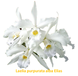 Laelia purpurata nativa alba elias