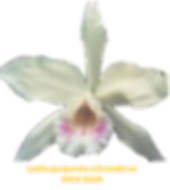 Laelia purpurata nativa schroederae joca silva