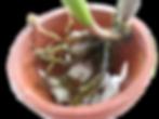 como plantar uma orquidea