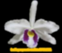Laelia purpurata nativa oculata da pedreira