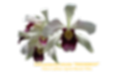 """Laelia purpurata vinicolor nativa """"FRISCHKNECHT"""""""