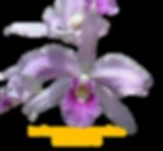 Laelia purpurata nativa russeliana padre vitus