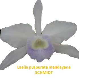 Laelia purpurata nativa mandayana schmidt