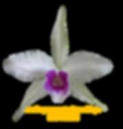 Laelia purpurata nativa roxo bispo são jorge