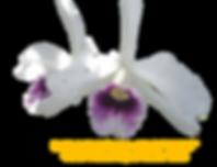 Laelia purapurata aço roxo violeta Ewald