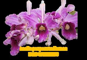 Laelia purpurata nativa flamea ganchos