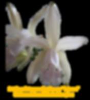 Cattleya intermedia carnea Tijucas
