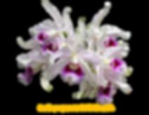 Laelia purpurata nativa carmencita