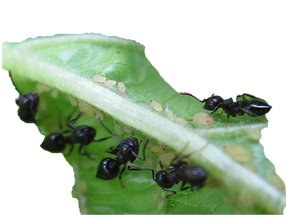 pragas nas orquideas, pulgoes, formigas