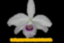 Laelia purpurata nativa anelata sapiranga