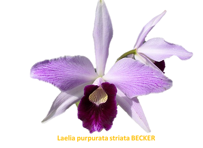 Laelia purpurata nativa striata becker