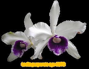 Laelia purpurata nativa aço clito roxo violeta