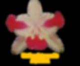cattleya intermedia nativa aquinii 1