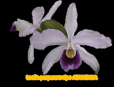 Laelia purpurata nativa azambuja