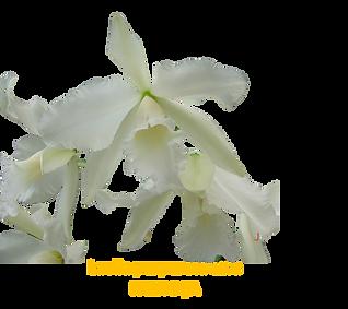 Laelia purpurata nativa alba palhoça