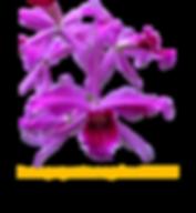 Laelia purpurata nativa sanguinea mentzi