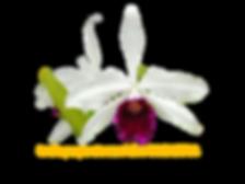 Laelia purpurata nativa cindarosa