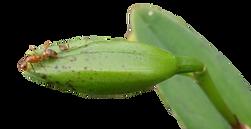 pragas nas orquideas, cochonilhas, formigas
