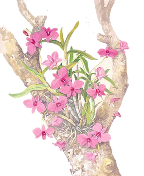 orquidea no tornco