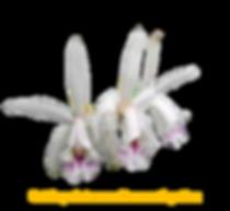 Cattleya intermedia ametistina