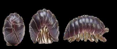 pragas nas orquideas,oniscidea, tatuzinho de jardim