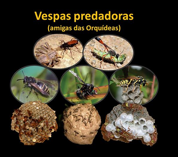 Vespas predadoras amigas das orquídeas cultivo pragas