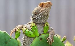 lizard with succ.webp