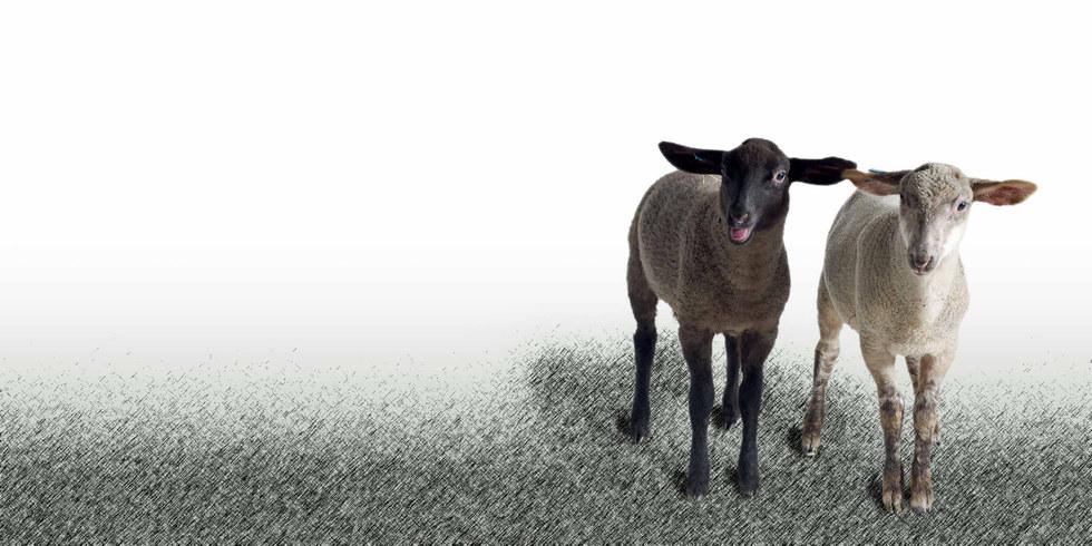 Whisperwool-Schafe-Franz-und-Ferdinand