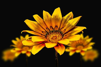 flower-gerbel-3720383_1920.jpg