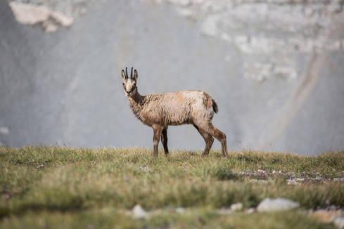Wild goat, Mount Olympus, Greece