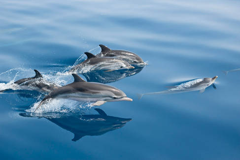 striped dolphins, Greece