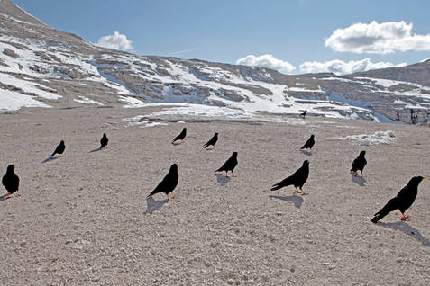 Alpine crows, Dolomites, Italy