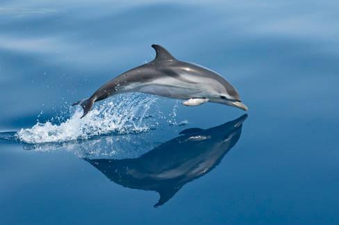 striped dolphin, Greece