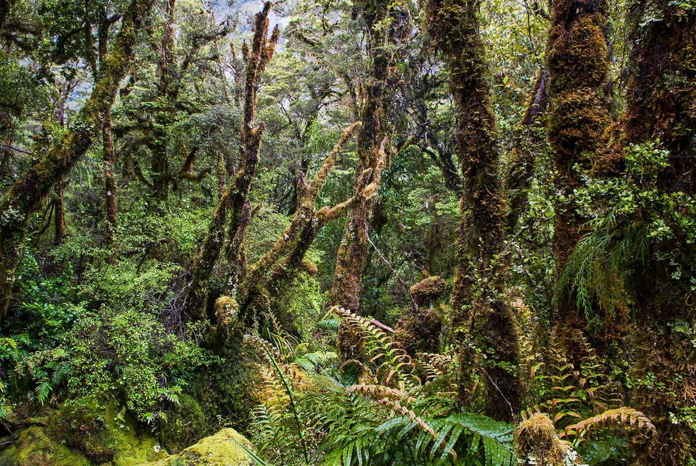 Milford Sounds bush, New Zealand