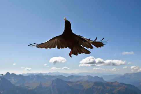 Alpine crow, Dolomites, Italy