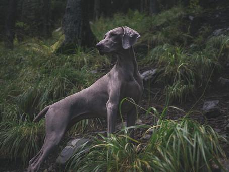 Osteodistrofia Hipertrófica em Cães (ODH)
