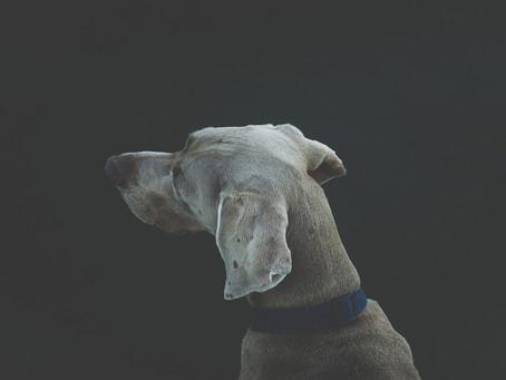 Osteocondrite Dissecante do Úmero em Cães (OCD)