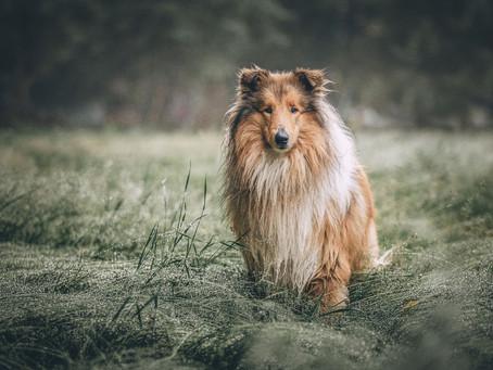 Hiperextensão do Carpo em Cães