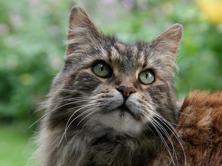 Displasia Coxofemoral em Gatos