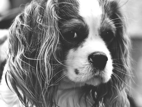 Malformação semelhante à chiari ou síndrome chiari-like em cães