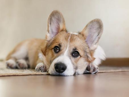Convulsão em cães e gatos: definição, causas e tratamento